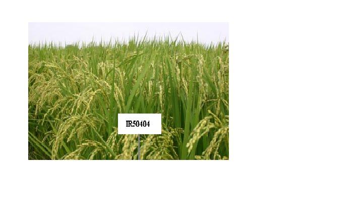 Lúa IR50404 chuyên được làm ra gạo nguyên liệu sản xuất bánh